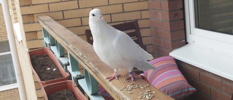 Голубь сидит на балконе