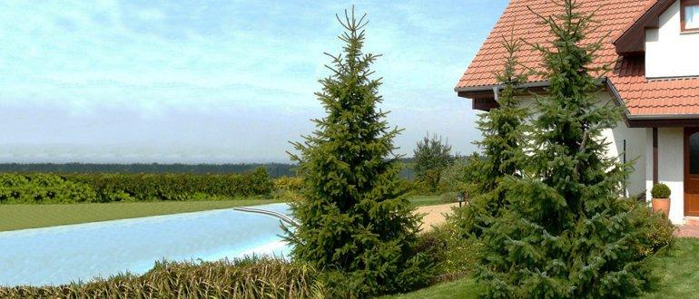 зеленая елка у дома