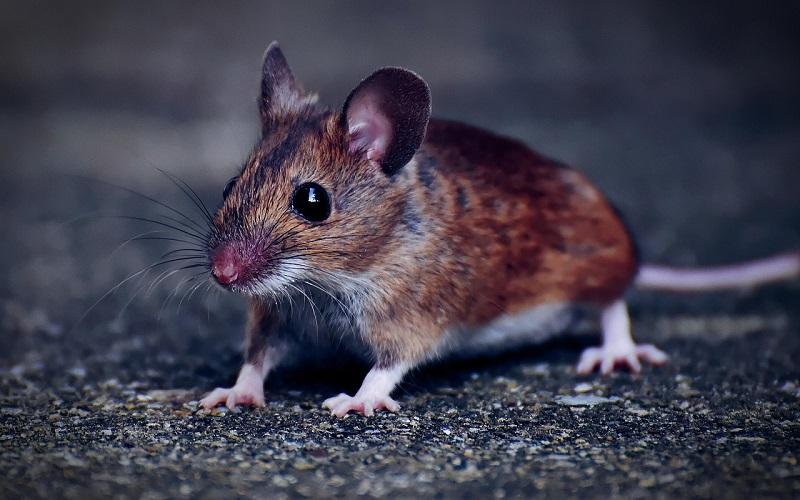 мышь на уличе