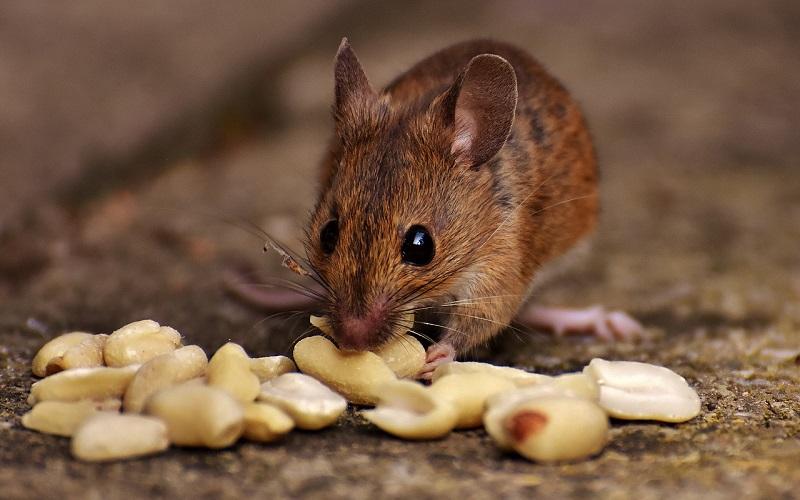 кормится орехами